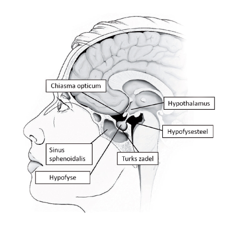hypofyse en hypothalamus kunnen een rol spelen bij vruchtbaarheidsproblemen